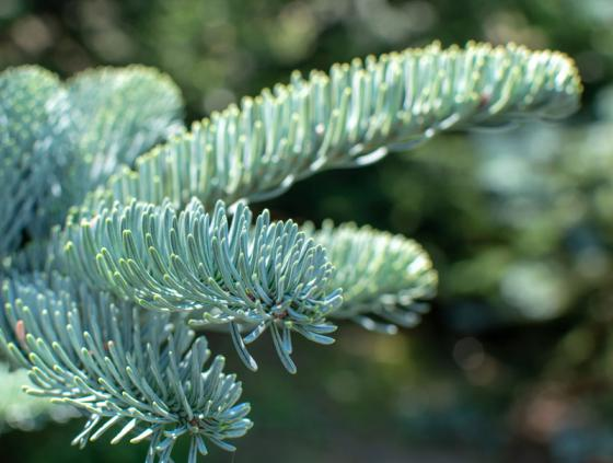 Free delivery of Christmas trees for seniors